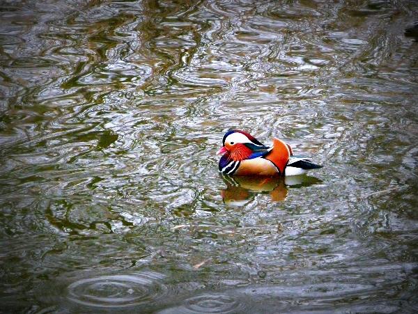 Es hat geregnet. Das Wasser war in Bewegung, doch die wunderschöne Ente stand auf dem Wasser ganz still...